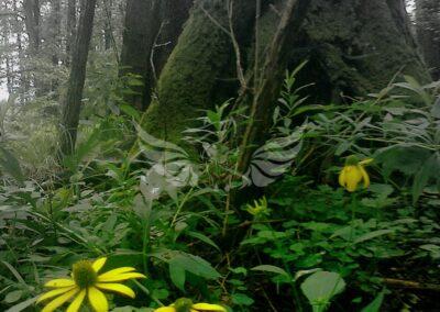 Virágzó csíkos égererdő